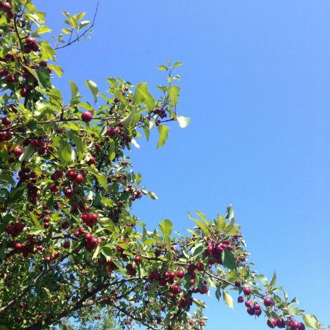 niagara_tree
